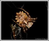 Starbellied Orbweaver (Acanthepeira stellata)