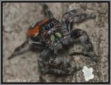 Jumping Spider (Phidippus pulcherrimus)