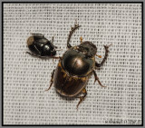 Scarab Beetles - Dung Beetle (Digitonthophagus gazella)