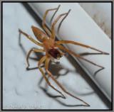 Ghost Spider (Family Anyphaenidae)