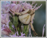 White-banded Crab Spider (Misumenoides formosipes)