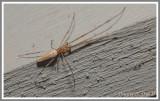 Longjawed Spider (Tetragnatha elongata)