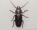 Cerambycid Beetle - Hardwood Stump Borer (Mallodon dasystomus)