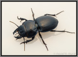 Blue-margined Ground Beetle (Pasimachus strenuus)