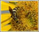 Scoliid Wasp (Campsomeris plumipes fossulana)