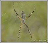 Banded Orbweaver Spider (Argiope trifasciata)
