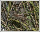Nursery Web Spider (Pisaurina brevipes)