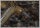 Glow Worm (Phengodes sp.) Feeding on an Ivory Millipede