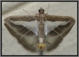 Melonworm Moth (Diaphania hyalinata)
