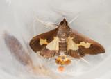 Pickleworm Moth (Daphnia nitidalis)