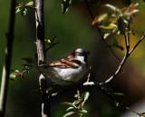 Meine Spatzen / My Sparrows