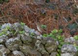 Lincolnsparv - Lincoln's Sparrow (Melospiza lincolnii)