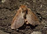 Klöverspinnare (Lasiocampa trifolii)