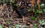 Koltrast - Common Blackbird (Turdus merula azorensis)