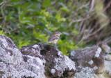 Brokig kardinal - Rose-breasted Grosbeak (Pheucticus ludovicianus)