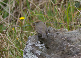 Svarthätta - Blackcap (Sylvia atricapilla gularis)