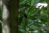 Blåryggad skogssångare - Black-throated Blue Warbler (Setophaga caerulescens)