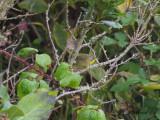 Gulhake - Common Yellowthroat (Geothlypis trichas)