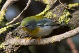 Messångare - Northern Parula (Parula americana)