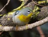 Majna till skogssångare / Myna to American warblers