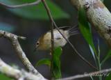 Kungsfågel - Goldcrest (Regulus regulus azoriensis)