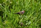 Helenaastrild - Common Waxbill (Estrilda astrild)