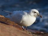 Labbar & måsar / Skuas & Small Gulls