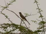 Birdtrip to the Kuwait 2014