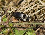 bumblebee sp.