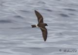 Birds in Azores - non passerines