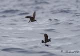 Birdtrip to the Azores 2014 - Pelagic