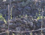 Bobolink - Bobolink (Dolichonyx oryzivorus)