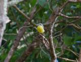 Forsärla - Grey Wagtail (Motacilla cinerea patriciae)