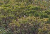 Beringvarfågel - Northern Shrike (Lanius borealis)