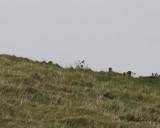Varfågel - Northern Shrike (Lanius excubitor borealis)