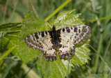 Dagfjärilar i WP / Butterflies in WP