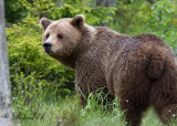 Brunbjörn - Brown Bear (Ursus arctos)