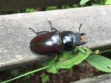 Ekoxe - Stag beetle (Lucanus cervus)