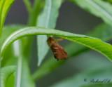 Dvärgrotfjäril - Gold Swift (Phymatopus hecta)