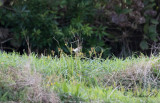 Buskskvätta - Whinchat (Saxicola rubetra)