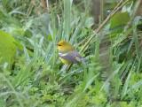 Blåvingad skogssångare - Blue-winged Warbler (Vermivora pinus)