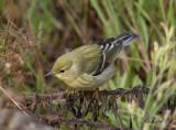 Vitkindad skogssångare - Blackpoll Warbler (Dendroica striata)