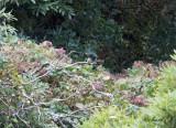 Östlig Pivi - Eastern Wood Pewee (Contopus virens)