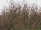 Vandringstrast - American Robin (Turdus migratorius)