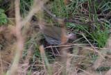 Rödkronad piplärksångare - Ovenbird (Seiurus aurocapilla)