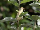 Brewster's warbler (Blue-winged x Golden-winged Warbler)