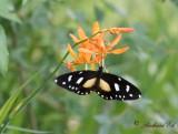Dagfjärilar i Världen / Butterflies in the World