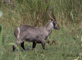 Vattenbock - Common Waterbuck (Kobus ellipsiprymnus)