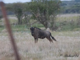 Strimmig gnu - Common Wildebeest (Connochaetes taurinus)