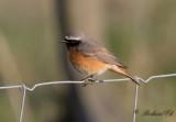 4.Calandra Lark - American Robin